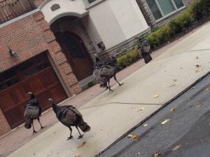 urban turkey, Brookline, wild turkey
